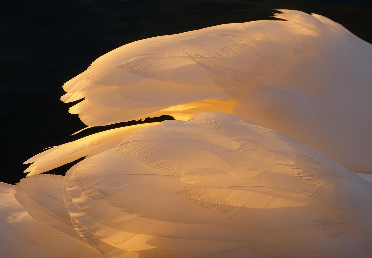 swan // © Judith Klapper